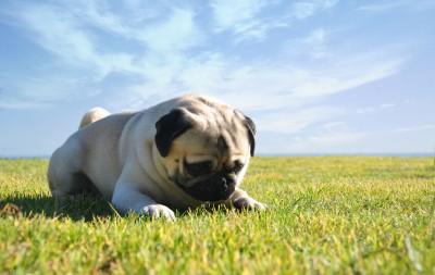 Claves de alimentación de los perros pug