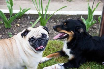 ¿Qué hacer si tu pug ladra a otros perros cuando está paseando?