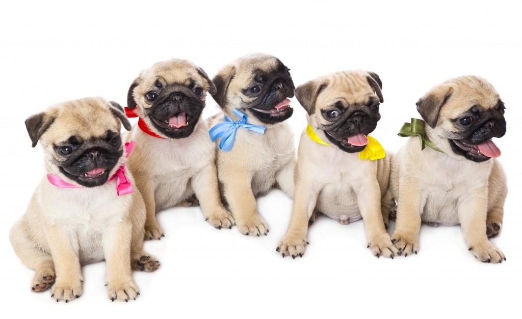 Pug precio: venta de perros pug