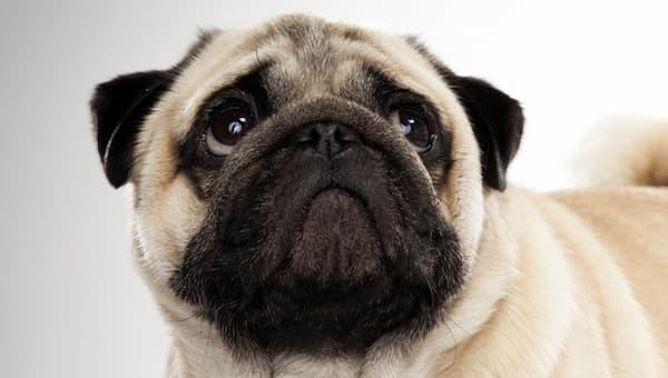 ¿Cómo deben ser los cuidados del Pug o Carlino?